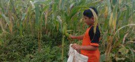 Panen Jagung Manis – Kebun Santri