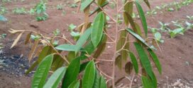 Tanam Durian – Program Investasi Jangka Panjang Pesantren