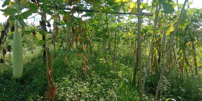Panen Labu Air dan Terong – Kebun Santri